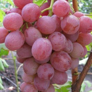 Предлагаем купить саженцы Винограда сорта «Анюта» в интернет-магазине при питомнике по цене от 180 руб. за штуку. Высокая свежесть и надежная упаковка. Заказы доставляем почтой в любой регион России, оплата разными способами. Закажите саженцы Винограда сорта «Анюта» онлайн или позвоните по телефону: +7(978)555-21-83!