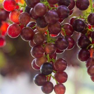 Предлагаем купить саженцы Винограда сорта «Багровый» в интернет-магазине при питомнике по цене от 180 руб. за штуку. Высокая свежесть и надежная упаковка. Заказы доставляем почтой в любой регион России, оплата разными способами. Закажите саженцы Винограда сорта «Багровый» онлайн или позвоните по телефону: +7(978)555-21-83!