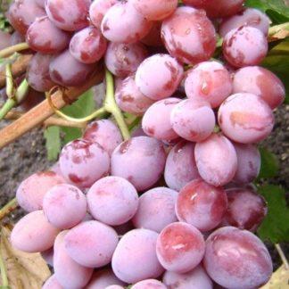 Предлагаем купить саженцы Винограда сорта «Былина» в интернет-магазине при питомнике по цене от 180 руб. за штуку. Высокая свежесть и надежная упаковка. Заказы доставляем почтой в любой регион России, оплата разными способами. Закажите саженцы Винограда сорта «Былина» онлайн или позвоните по телефону: +7(978)555-21-83!