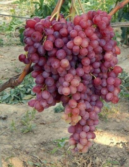 Предлагаем купить саженцы Винограда сорта «Велес» в интернет-магазине при питомнике по цене от 180 руб. за штуку. Высокая свежесть и надежная упаковка. Заказы доставляем почтой в любой регион России, оплата разными способами. Закажите саженцы Винограда сорта «Велес» онлайн или позвоните по телефону: +7(978)555-21-83!