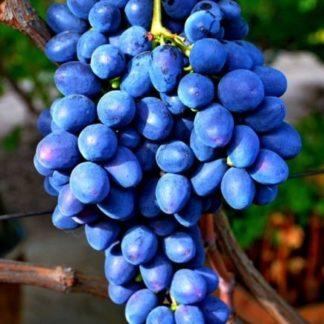 Предлагаем купить саженцы Винограда сорта «Забава» в интернет-магазине при питомнике по цене от 180 руб. за штуку. Высокая свежесть и надежная упаковка. Заказы доставляем почтой в любой регион России, оплата разными способами. Закажите саженцы Винограда сорта «Забава» онлайн или позвоните по телефону: +7(978)555-21-83!