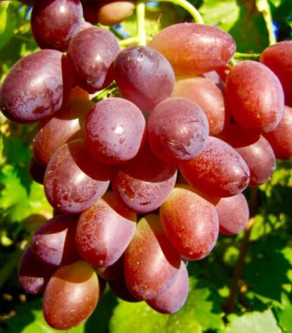 Предлагаем купить саженцы Винограда сорта «Зарево» в интернет-магазине при питомнике по цене от 180 руб. за штуку. Высокая свежесть и надежная упаковка. Заказы доставляем почтой в любой регион России, оплата разными способами. Закажите саженцы Винограда сорта «Зарево» онлайн или позвоните по телефону: +7(978)555-21-83!