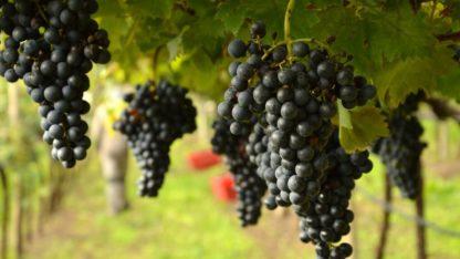 Предлагаем купить саженцы Винограда сорта «Италия» в интернет-магазине при питомнике по цене от 180 руб. за штуку. Высокая свежесть и надежная упаковка. Заказы доставляем почтой в любой регион России, оплата разными способами. Закажите саженцы Винограда сорта «Италия» онлайн или позвоните по телефону: +7(978)555-21-83!