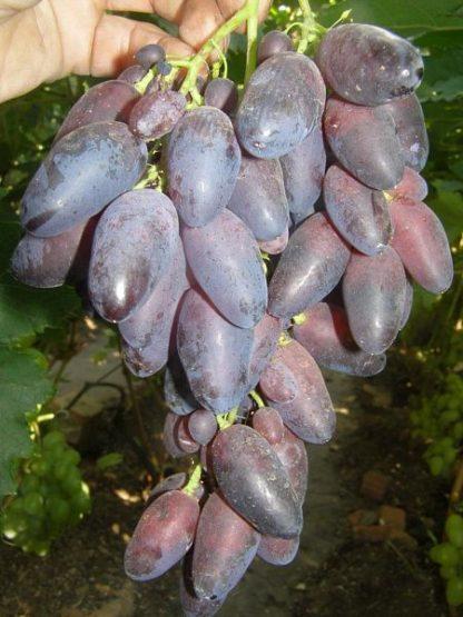 Предлагаем купить саженцы Винограда сорта «Кармен» в интернет-магазине при питомнике по цене от 180 руб. за штуку. Высокая свежесть и надежная упаковка. Заказы доставляем почтой в любой регион России, оплата разными способами. Закажите саженцы Винограда сорта «Кармен» онлайн или позвоните по телефону: +7(978)555-21-83!