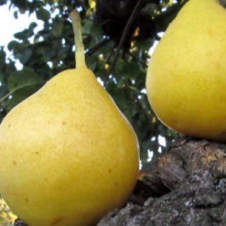 Предлагаем купить саженцы Груши сорта «Лимонка» в интернет-магазине при питомнике по цене от 200 руб. за штуку. Высокая свежесть и надежная упаковка. Заказы доставляем почтой в любой регион России, оплата разными способами. Закажите саженцы Груши сорта «Лимонка» онлайн или позвоните по телефону: +7(978)555-21-83!