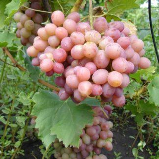 Предлагаем купить саженцы Винограда сорта «Ливия» в интернет-магазине при питомнике по цене от 180 руб. за штуку. Высокая свежесть и надежная упаковка. Заказы доставляем почтой в любой регион России, оплата разными способами. Закажите саженцы Винограда сорта «Ливия» онлайн или позвоните по телефону: +7(978)555-21-83!