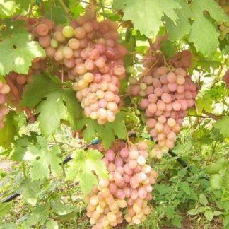Предлагаем купить саженцы Винограда сорта «Румба» в интернет-магазине при питомнике по цене от 180 руб. за штуку. Высокая свежесть и надежная упаковка. Заказы доставляем почтой в любой регион России, оплата разными способами. Закажите саженцы Винограда сорта «Румба» онлайн или позвоните по телефону: +7(978)555-21-83!
