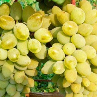 Предлагаем купить саженцы Винограда сорта «Тимур» в интернет-магазине при питомнике по цене от 180 руб. за штуку. Высокая свежесть и надежная упаковка. Заказы доставляем почтой в любой регион России, оплата разными способами. Закажите саженцы Винограда сорта «Тимур» онлайн или позвоните по телефону: +7(978)555-21-83!