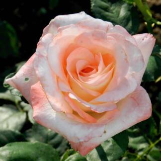 Предлагаем купить саженцы Розы чайно-гибридной сорта «Белла Перла» в интернет-магазине при питомнике по цене от 200 руб. за штуку. Высокая свежесть и надежная упаковка. Заказы доставляем почтой в любой регион России, оплата разными способами. Закажите саженцы Розы чайно-гибридной сорта «Белла Перла» онлайн или позвоните по телефону: +7(978)555-21-83!