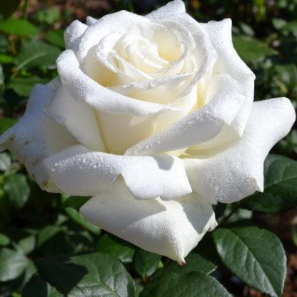 Предлагаем купить саженцы Розы чайно-гибридной сорта «Боинг» в интернет-магазине при питомнике по цене от 150 руб. за штуку. Высокая свежесть и надежная упаковка. Заказы доставляем почтой в любой регион России, оплата разными способами. Закажите саженцы Розы чайно-гибридной сорта «Боинг» онлайн или позвоните по телефону: +7(978)555-21-83!