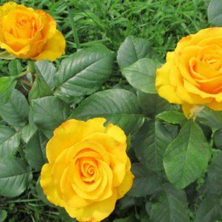 Предлагаем купить саженцы Розы чайно-гибридной сорта «Керио» в интернет-магазине при питомнике по цене от 150 руб. за штуку. Высокая свежесть и надежная упаковка. Заказы доставляем почтой в любой регион России, оплата разными способами. Закажите саженцы Розы чайно-гибридной сорта «Керио» онлайн или позвоните по телефону: +7(978)555-21-83!