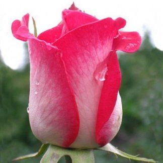 Предлагаем купить саженцы Розы чайно-гибридной сорта «Утро Парижа» в интернет-магазине при питомнике по цене от 150 руб. за штуку. Высокая свежесть и надежная упаковка. Заказы доставляем почтой в любой регион России, оплата разными способами. Закажите саженцы Розы чайно-гибридной сорта «Утро Парижа» онлайн или позвоните по телефону: +7(978)555-21-83!