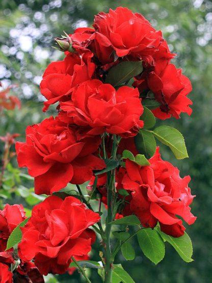 Предлагаем купить саженцы Розы петлистой сорта «Грандесса» в интернет-магазине при питомнике по цене от 150 руб. за штуку. Высокая свежесть и надежная упаковка. Заказы доставляем почтой в любой регион России, оплата разными способами. Закажите саженцы Розы петлистой сорта «Грандесса» онлайн или позвоните по телефону: +7(978)555-21-83!