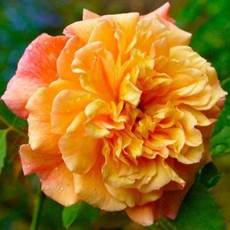 Предлагаем купить саженцы Розы петлистой сорта «Алоха» в интернет-магазине при питомнике по цене от 150 руб. за штуку. Высокая свежесть и надежная упаковка. Заказы доставляем почтой в любой регион России, оплата разными способами. Закажите саженцы Розы петлистой сорта «Алоха» онлайн или позвоните по телефону: +7(978)555-21-83!