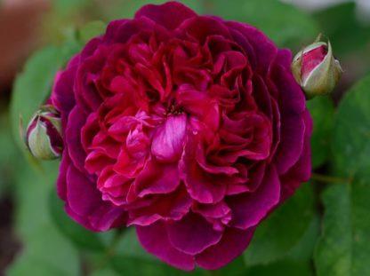 Предлагаем купить саженцы Розы петлистой сорта «Вильям Шекспир» в интернет-магазине при питомнике по цене от 150 руб. за штуку. Высокая свежесть и надежная упаковка. Заказы доставляем почтой в любой регион России, оплата разными способами. Закажите саженцы Розы петлистой сорта «Вильям Шекспир» онлайн или позвоните по телефону: +7(978)555-21-83!