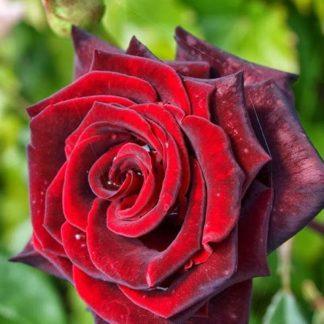 Предлагаем купить саженцы Розы почвопокровной сорта «Ред Вельвет» в интернет-магазине при питомнике по цене от 150 руб. за штуку. Высокая свежесть и надежная упаковка. Заказы доставляем почтой в любой регион России, оплата разными способами. Закажите саженцы Розы почвопокровной сорта «Ред Вельвет» онлайн или позвоните по телефону: +7(978)555-21-83!
