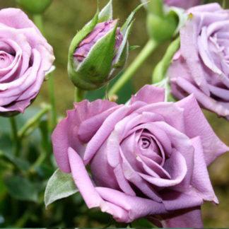 Предлагаем купить саженцы Розы спрей сорта «Билона» в интернет-магазине при питомнике по цене от 150 руб. за штуку. Высокая свежесть и надежная упаковка. Заказы доставляем почтой в любой регион России, оплата разными способами. Закажите саженцы Розы спрей сорта «Билона» онлайн или позвоните по телефону: +7(978)555-21-83!
