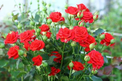 Предлагаем купить саженцы Розы спрей сорта «Мирабель» в интернет-магазине при питомнике по цене от 150 руб. за штуку. Высокая свежесть и надежная упаковка. Заказы доставляем почтой в любой регион России, оплата разными способами. Закажите саженцы Розы спрей сорта «Мирабель» онлайн или позвоните по телефону: +7(978)555-21-83!