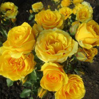 Предлагаем купить саженцы Розы спрей сорта «Сан Сити» в интернет-магазине при питомнике по цене от 150 руб. за штуку. Высокая свежесть и надежная упаковка. Заказы доставляем почтой в любой регион России, оплата разными способами. Закажите саженцы Розы спрей сорта «Сан Сити» онлайн или позвоните по телефону: +7(978)555-21-83!