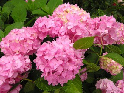 Предлагаем купить саженцы розовой гортензии в интернет-магазине при питомнике по цене от 160 руб. за штуку. Высокая свежесть и надежная упаковка. Заказы доставляем почтой в любой регион России, оплата разными способами. Закажите саженцы розовой гортензии онлайн или позвоните по телефону: +7(978)555-21-83!