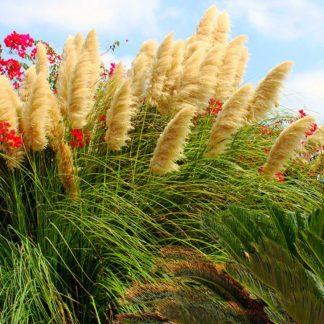 Предлагаем купить саженцы Пампасной травы в интернет-магазине при питомнике по цене от 500 руб. за штуку. Высокая свежесть и надежная упаковка. Заказы доставляем почтой в любой регион России, оплата разными способами. Закажите саженцы Пампасной травы онлайн или позвоните по телефону: +7(978)555-21-83!