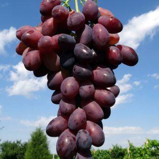 Предлагаем купить саженцы Винограда сорта «Ася» в интернет-магазине при питомнике по цене от 170 руб. за штуку. Высокая свежесть и надежная упаковка. Заказы доставляем почтой в любой регион России, оплата разными способами. Закажите саженцы Винограда сорта «Ася» онлайн или позвоните по телефону: +7(978)555-21-83!