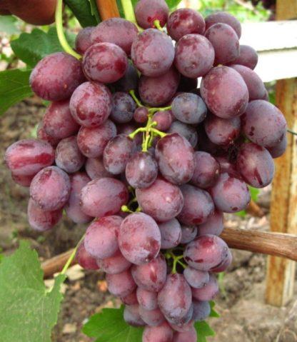 Предлагаем купить саженцы Винограда сорта «Пола» в интернет-магазине при питомнике по цене от 180 руб. за штуку. Высокая свежесть и надежная упаковка. Заказы доставляем почтой в любой регион России, оплата разными способами. Закажите саженцы Винограда сорта «Пола» онлайн или позвоните по телефону: +7(978)555-21-83!