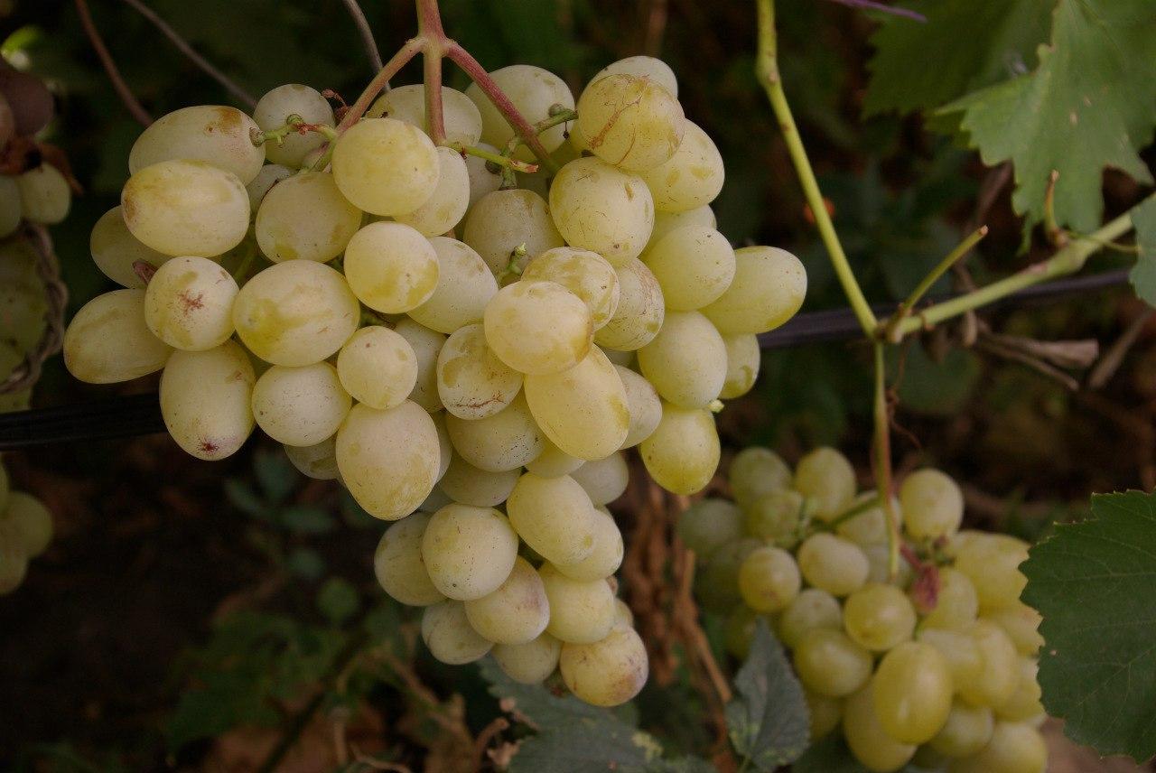 виноград лора описание сорта фото отзывы картинки