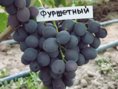 Предлагаем купить саженцы Винограда сорта «Фуршетный» в интернет-магазине при питомнике по цене от 180 руб. за штуку. Высокая свежесть и надежная упаковка. Заказы доставляем почтой в любой регион России, оплата разными способами. Закажите саженцы Винограда сорта «Фуршетный» онлайн или позвоните по телефону: +7(978)555-21-83!