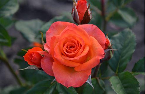 Предлагаем купить саженцы Розы флорибунда сорта «Аллергия» в интернет-магазине при питомнике по цене от 160 руб. за штуку. Высокая свежесть и надежная упаковка. Заказы доставляем почтой в любой регион России, оплата разными способами. Закажите саженцы Розы флорибунда сорта «Аллергия» онлайн или позвоните по телефону: +7(978)555-21-83!