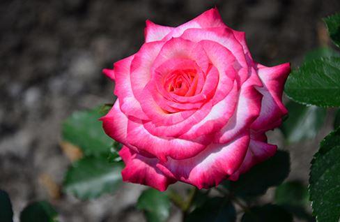 Предлагаем купить саженцы Розы флорибунда сорта «Арифа» в интернет-магазине при питомнике по цене от 160 руб. за штуку. Высокая свежесть и надежная упаковка. Заказы доставляем почтой в любой регион России, оплата разными способами. Закажите саженцы Розы флорибунда сорта «Арифа» онлайн или позвоните по телефону: +7(978)555-21-83!