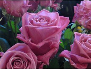 Предлагаем купить саженцы Розы чайно-гибридной «Аква» в интернет-магазине при питомнике по цене от 160 руб. за штуку. Высокая свежесть и надежная упаковка. Заказы доставляем почтой в любой регион России, оплата разными способами. Закажите саженцы Розы чайно-гибридной «Аква» онлайн или позвоните по телефону: +7(978)555-21-83!