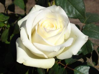 Предлагаем купить саженцы Розы чайно-гибридной сорта «Анастасия» в интернет-магазине при питомнике по цене от 160 руб. за штуку. Высокая свежесть и надежная упаковка. Заказы доставляем почтой в любой регион России, оплата разными способами. Закажите саженцы Розы чайно-гибридной сорта «Анастасия» онлайн или позвоните по телефону: +7(978)555-21-83!