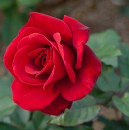 Предлагаем купить саженцы Розы чайно-гибридной сорта «Булс Айс» в интернет-магазине при питомнике по цене от 160 руб. за штуку. Высокая свежесть и надежная упаковка. Заказы доставляем почтой в любой регион России, оплата разными способами. Закажите саженцы Розы чайно-гибридной сорта «Булс Айс» онлайн или позвоните по телефону: +7(978)555-21-83!