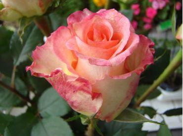 Предлагаем купить саженцы Розы чайно-гибридной сорта «Дуэт» в интернет-магазине при питомнике по цене от 160 руб. за штуку. Высокая свежесть и надежная упаковка. Заказы доставляем почтой в любой регион России, оплата разными способами. Закажите саженцы Розы чайно-гибридной сорта «Дуэт» онлайн или позвоните по телефону: +7(978)555-21-83!