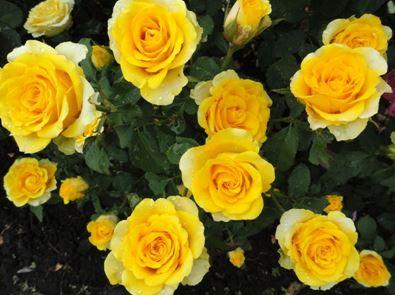 Предлагаем купить саженцы Розы чайно-гибридной сорта «Илиос» в интернет-магазине при питомнике по цене от 160 руб. за штуку. Высокая свежесть и надежная упаковка. Заказы доставляем почтой в любой регион России, оплата разными способами. Закажите саженцы Розы чайно-гибридной сорта «Илиос» онлайн или позвоните по телефону: +7(978)555-21-83!