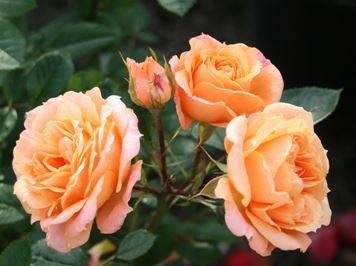 Предлагаем купить саженцы Розы чайно-гибридной «Клементина» в интернет-магазине при питомнике по цене от 160 руб. за штуку. Высокая свежесть и надежная упаковка. Заказы доставляем почтой в любой регион России, оплата разными способами. Закажите саженцы розы чайно-гибридной Клементина онлайн или позвоните по телефону: +7(978)555-21-83!
