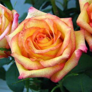 Предлагаем купить саженцы Розы чайно-гибридной «Конфетти» в интернет-магазине при питомнике по цене от 160 руб. за штуку. Высокая свежесть и надежная упаковка. Заказы доставляем почтой в любой регион России, оплата разными способами. Закажите саженцы Розы чайно-гибридной «Конфетти» онлайн или позвоните по телефону: +7(978)555-21-83!