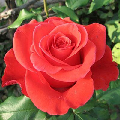 Предлагаем купить саженцы Розы чайно-гибридной «Корвет» в интернет-магазине при питомнике по цене от 160 руб. за штуку. Высокая свежесть и надежная упаковка. Заказы доставляем почтой в любой регион России, оплата разными способами. Закажите саженцы розы чайно-гибридной Корвет онлайн или позвоните по телефону: +7(978)555-21-83!