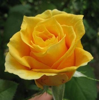 Предлагаем купить саженцы Розы чайно-гибридной «Папилон» в интернет-магазине при питомнике по цене от 160 руб. за штуку. Высокая свежесть и надежная упаковка. Заказы доставляем почтой в любой регион России, оплата разными способами. Закажите саженцы розы чайно-гибридной Папилон онлайн или позвоните по телефону: +7(978)555-21-83!