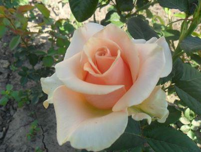 Предлагаем купить саженцы Розы чайно-гибридной сорта «Примадонна» в интернет-магазине при питомнике по цене от 160 руб. за штуку. Высокая свежесть и надежная упаковка. Заказы доставляем почтой в любой регион России, оплата разными способами. Закажите саженцы Розы чайно-гибридной сорта «Примадонна» онлайн или позвоните по телефону: +7(978)555-21-83!