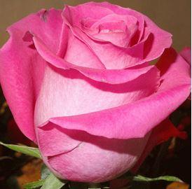Предлагаем купить саженцы Розы чайно-гибридной сорта «Топаз» в интернет-магазине при питомнике по цене от 160 руб. за штуку. Высокая свежесть и надежная упаковка. Заказы доставляем почтой в любой регион России, оплата разными способами. Закажите саженцы Розы чайно-гибридной сорта «Топаз» онлайн или позвоните по телефону: +7(978)555-21-83!