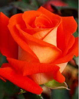Предлагаем купить саженцы Розы чайно-гибридной сорта «Верано» в интернет-магазине при питомнике по цене от 160 руб. за штуку. Высокая свежесть и надежная упаковка. Заказы доставляем почтой в любой регион России, оплата разными способами. Закажите саженцы Розы чайно-гибридной сорта «Верано» онлайн или позвоните по телефону: +7(978)555-21-83!
