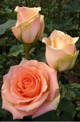 Предлагаем купить саженцы Розы чайно-гибридной «Версилия» в интернет-магазине при питомнике по цене от 160 руб. за штуку. Высокая свежесть и надежная упаковка. Заказы доставляем почтой в любой регион России, оплата разными способами. Закажите саженцы Розы чайно-гибридной «Версилия» онлайн или позвоните по телефону: +7(978)555-21-83!