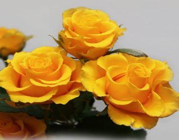 Предлагаем купить саженцы Розы флорибунда сорта «Сфинкс» в интернет-магазине при питомнике по цене от 160 руб. за штуку. Высокая свежесть и надежная упаковка. Заказы доставляем почтой в любой регион России, оплата разными способами. Закажите саженцы Розы флорибунда сорта «Сфинкс» онлайн или позвоните по телефону: +7(978)555-21-83!