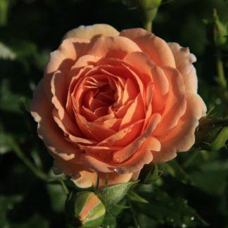 Предлагаем купить саженцы Розы чайно-гибридной сорта «Гейша» в интернет-магазине при питомнике по цене от 170 руб. за штуку. Высокая свежесть и надежная упаковка. Заказы доставляем почтой в любой регион России, оплата разными способами. Закажите саженцы Розы чайно-гибридной сорта «Гейша» онлайн или позвоните по телефону: +7(978)555-21-83!