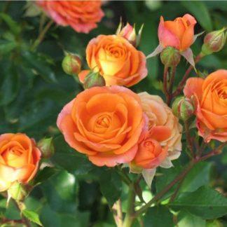 Предлагаем купить саженцы Розы спрей сорта «Лайт Оранж» в интернет-магазине при питомнике по цене от 170 руб. за штуку. Высокая свежесть и надежная упаковка. Заказы доставляем почтой в любой регион России, оплата разными способами. Закажите саженцы Розы спрей сорта «Лайт Оранж» онлайн или позвоните по телефону: +7(978)555-21-83!