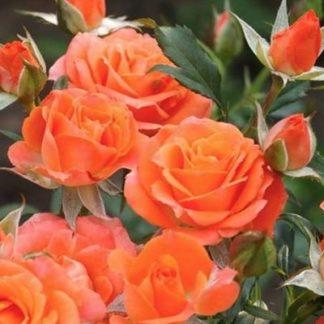 Предлагаем купить саженцы Розы флорибунда сорта «Оранж Беби» в интернет-магазине при питомнике по цене от 160 руб. за штуку. Высокая свежесть и надежная упаковка. Заказы доставляем почтой в любой регион России, оплата разными способами. Закажите саженцы Розы флорибунда сорта «Оранж Беби» онлайн или позвоните по телефону: +7(978)555-21-83!