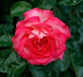 Предлагаем купить саженцы Розы плетистой сорта «Антик» в интернет-магазине при питомнике по цене от 160 руб. за штуку. Высокая свежесть и надежная упаковка. Заказы доставляем почтой в любой регион России, оплата разными способами. Закажите саженцы Розы плетистой сорта «Антик» онлайн или позвоните по телефону: +7(978)555-21-83!