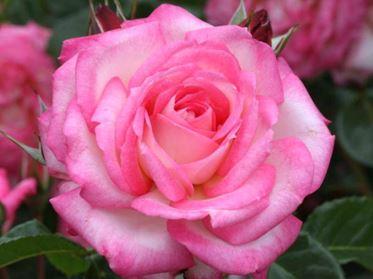 Предлагаем купить саженцы Розы плетистой сорта «Арлекин» в интернет-магазине при питомнике по цене от 160 руб. за штуку. Высокая свежесть и надежная упаковка. Заказы доставляем почтой в любой регион России, оплата разными способами. Закажите саженцы Розы плетистой сорта «Арлекин» онлайн или позвоните по телефону: +7(978)555-21-83!